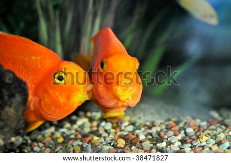 One goldfish is kissing another