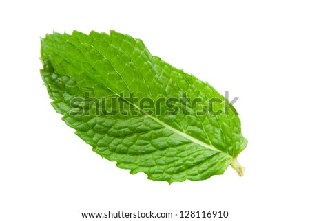 one green colored fresh mint leaf with a stem on an isolated white background. Mints are aromatic and have square branched stems. Mint leaves are in the mentha family.