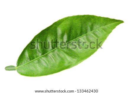 One green leaf of citrus-tree. Isolated on white background. Close-up. Studio photography. - stock photo