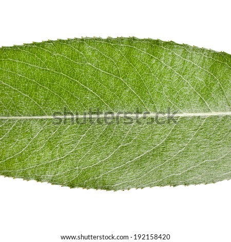 One green leaf of silver weeping willow close up macro shot isolated on white background  - stock photo