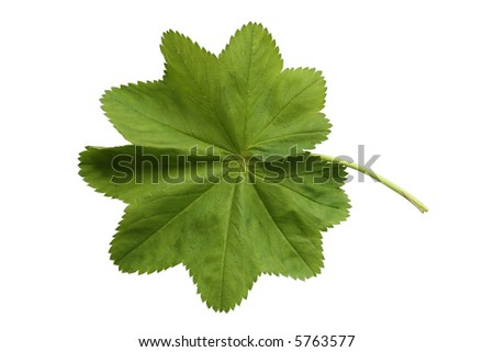one green leaf on the white background
