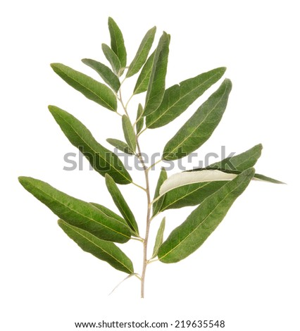 One green olive branch isolated on white background