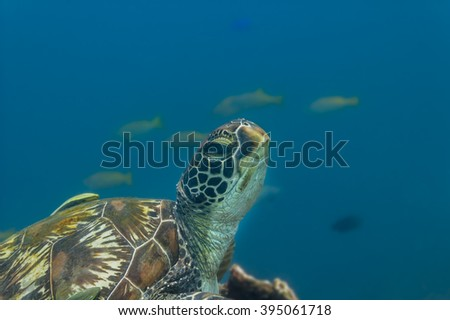One green sea turtle (Chelonia mydas) rests on a coral reef, with a fish shoal in the background. Philippines, April. - stock photo