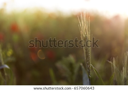 One green wheat ears close up at spring with shallow depth of field