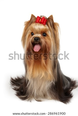 One groomed Yorkshire Terrier with red bow on top sits on white isolated background - stock photo