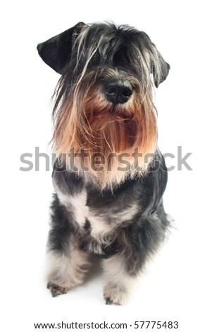 One hairy dog isolated over white