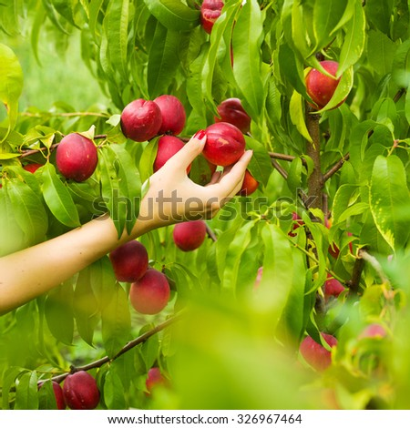 One hand picks peach from a tree through the leaves. - stock photo