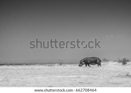 One hippo all alone, making her way back to Lake Albert, Murchison Falls National Park, Uganda