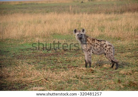 one hyena standing on the African plain