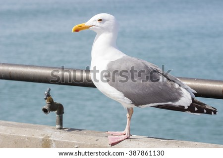 one isolated beautiful colorful seagull with the vivid blue ocean in the background. Pelican was shot in California via Hunnington Beach. The seagull is pictures by a water fountain. - stock photo