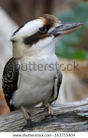 one kookaburra perched on a branch - stock photo