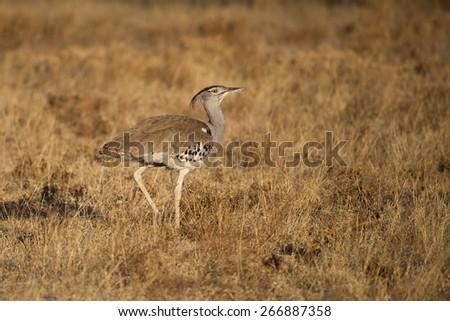 One kori bustard walking through the dry grass in the Central Kalahari - stock photo
