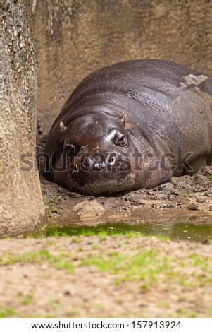 One lazy pygmy Hippopotamus lying in mud in zoo.