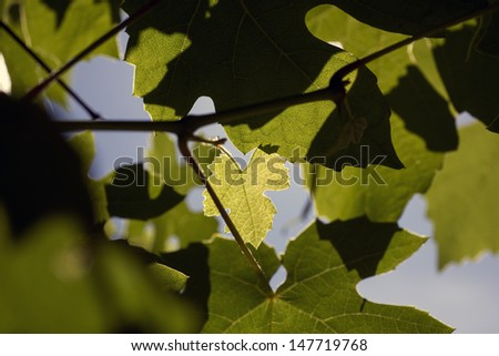 One light green wine leaf among other dark leaves. - stock photo