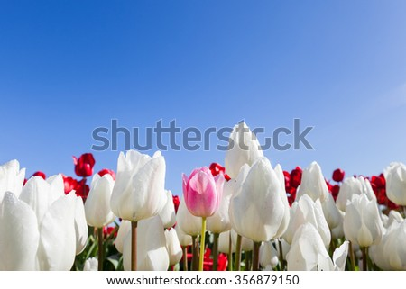One light pink tulip among white and red blooms in springtime with a blue sky background. - stock photo