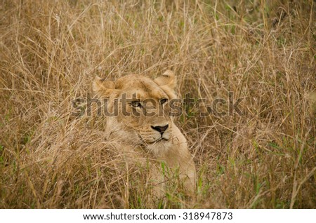 one lion hiding in the tall, dry, brown grass