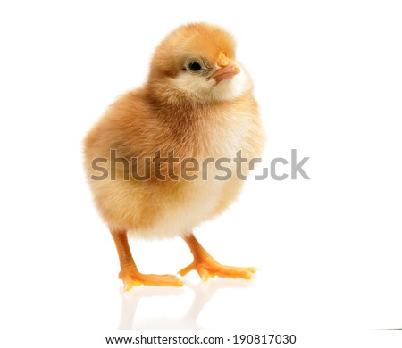 One little chicken, isolated on white background - stock photo