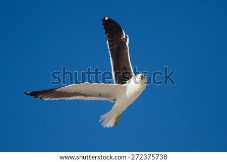 One lone Black back gull flying in bright blue sky - stock photo