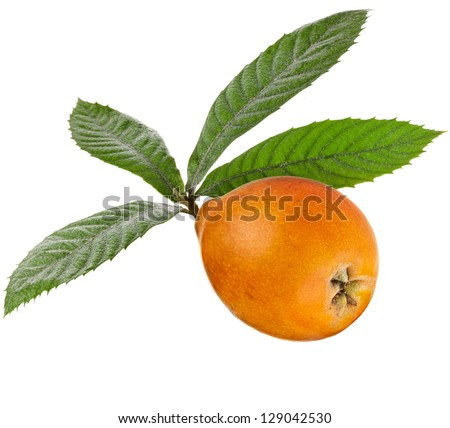One Loquat Medlar Branch isolated on a white background - stock photo