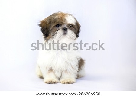 One lovely colored shih tzu puppy isolated on white background - stock photo