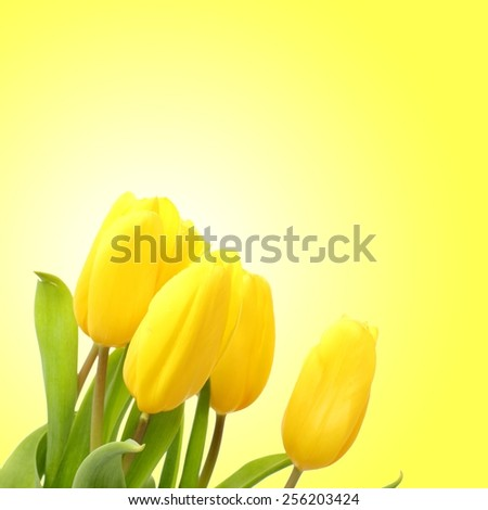 One lovely yellow tulip over yellow background as a card design on Holiday theme - stock photo