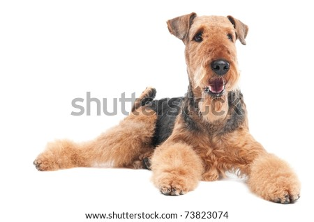 One lying Black brown Airedale Terrier dog isolated on white - stock photo