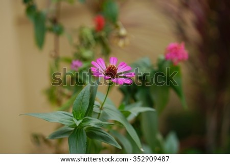 One magenta zinnia flower with soft background red flower, green leaves and herb in home garden. Focus in center of flower.