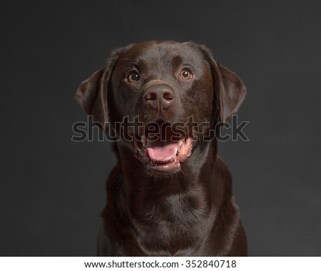 One male Chocolate Labrador Retriever dog portrait black background