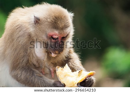 One monkey sitting and eats banana. Close up his boby and face . Intend to leave right space for type the words. - stock photo