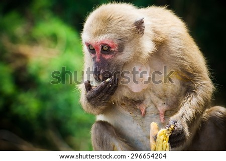 One monkey sitting and eats banana . Processed by added vignette and contrast  to show his face color more clearly. - stock photo