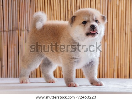 One month old Akita puppy with bamboo background.