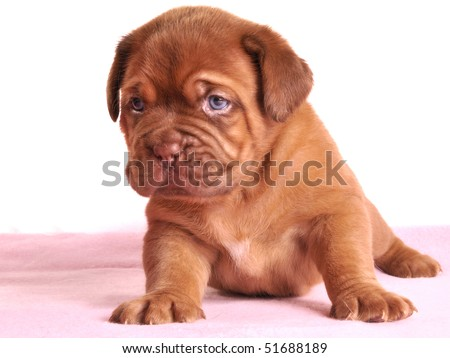 One month old Dogue De Bordeaux puppy is sitting on a rose carpet - stock photo
