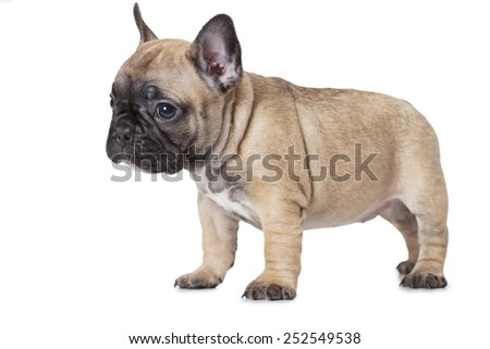One month old French bulldog puppy standing in front of white background  - stock photo