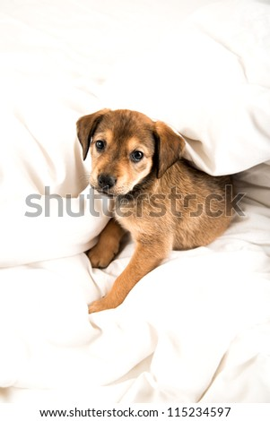 One Month Old Shepherd Labrador Mix Brown Puppy on White Bed