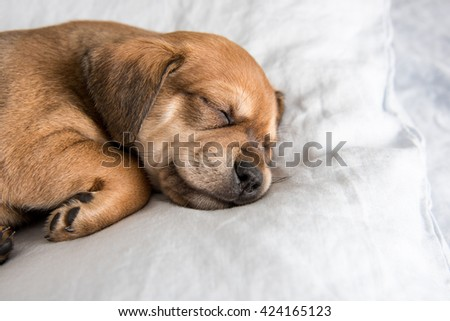 One Month  Old Terrier Mix Puppy Sleeping in Bed on Gray Sheets