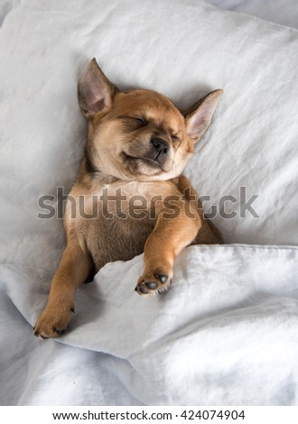 One Month  Old Terrier Mix Puppy Sleeping in Bed Under Blanket - stock photo