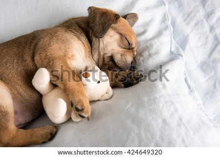 One Month  Old Terrier Mix Puppy Sleeping in Bed with Favorite Toy - stock photo