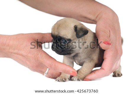 One month pug puppy sandy beige color isolated on white