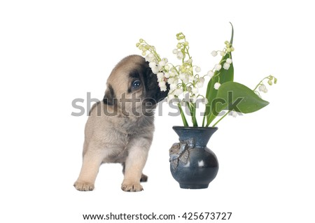 One month pug puppy sandy beige color isolated on white with lily of the valley