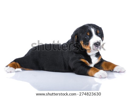 One-month tricolor puppy Appenzeller Sennenhund isolated on white - stock photo