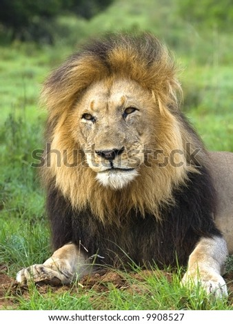 One of the biggest Lions in Africa today - stock photo