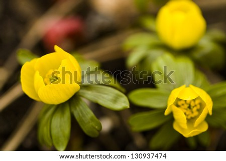 One of the earliest spring flowers to emerge out of the ground is Eranthis.