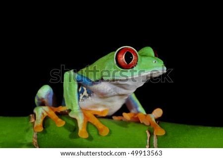 one of the most beautiful creatures on planet earth:the red eyed tree frog (agalychnis callidryas) isolated on black. - stock photo