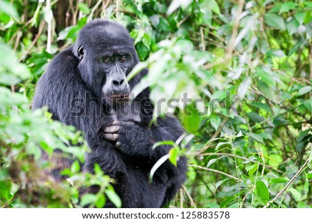 One of the most endangered animals, a great Mountain Gorilla, in the Bwindi National Park in Uganda. - stock photo