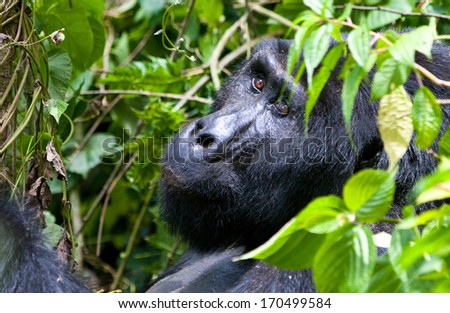 One of the most endangered animals, a great silverback Mountain Gorilla, in the Bwindi National Park in Uganda.