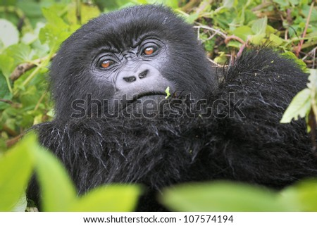 One of the most endangered animals, the Mountain Gorilla. In the wilds of the Virunga Mountains between the Congo and Rwanda. This female is part of the Susa Group, studied by Dian Fossey. - stock photo