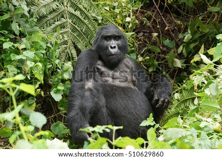 one of the seven hundert free lived last gorillas in the rain-forest in Uganda, silver-back, the head of the family