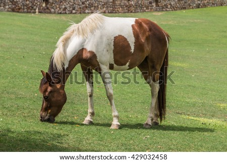 One of the two subspecies of Equus ferus, or the wild horses that still exists today. Mammal family Equidae horse's hoof has evolved for more than a year of life 45-55000000 many small hoof. - stock photo