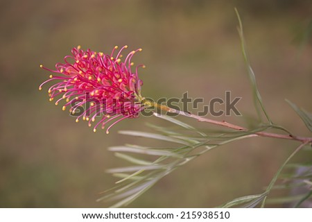 One of the typical flower heads of Australian native wildflower Grevillea growing in bushland - stock photo