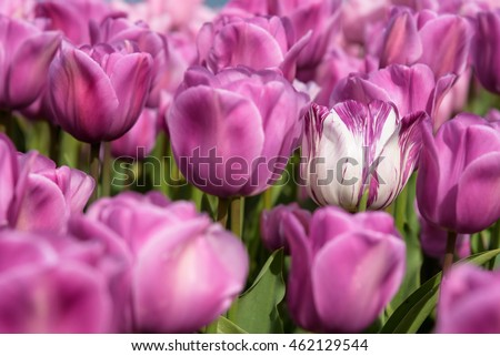 One of these is not like the others, white and pink tulip in a bed of pink tulips